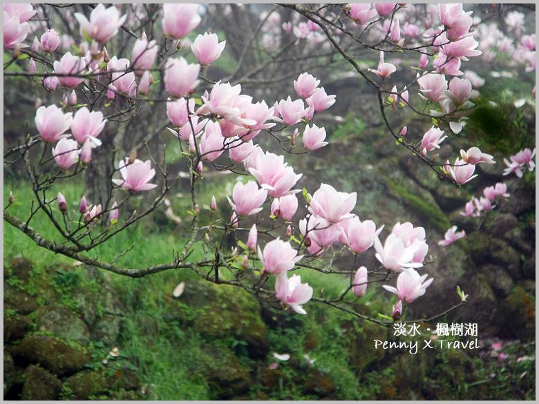 《旅遊‧台北》三芝淡水一日遊-淡水楓樹湖步道.沒有湖但有美麗的木蓮花之芬芳旅程 @penny小食光輕旅行