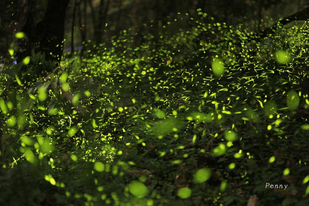 第一次PS疊圖就上手,讓螢火蟲爆量的密技(拍攝地點:牛伯伯螢火蟲生態園區) @penny小食光輕旅行