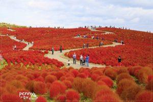 今日熱門文章:《關東秋之旅》日本茨城國立濱海公園可愛的掃帚草(コキア/地膚子)‧一望無際的毛茸茸紅色地毯