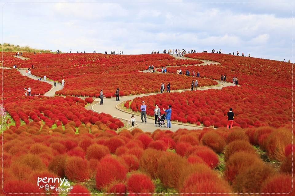 《關東秋之旅》日本茨城國立濱海公園可愛的掃帚草(コキア/地膚子)‧一望無際的毛茸茸紅色地毯 @penny小食光輕旅行